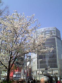 桜@渋谷ハチ公前