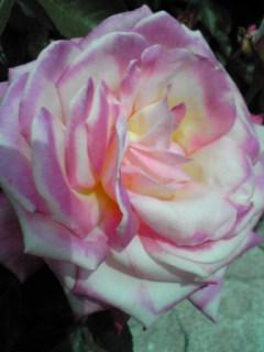 薔薇がきれいでした