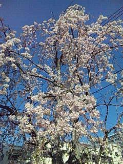 うちのしだれ桜